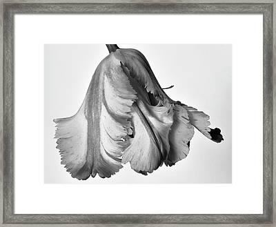 French Tulip Framed Print by Robert Ullmann