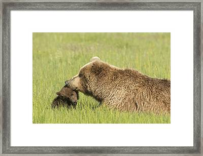 Grizzly Bear  Ursus Arctos Horribilis Framed Print