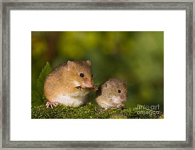 Harvest Mice Eating Grasshopper Framed Print