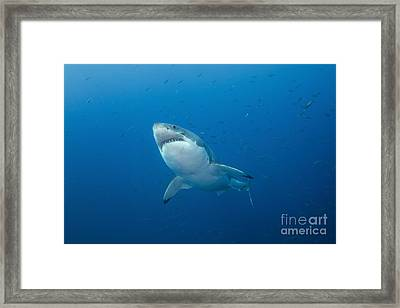 Male Great White Shark, Guadalupe Framed Print