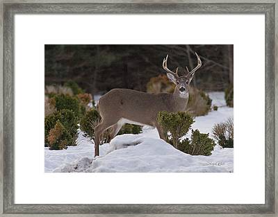 Framed Print featuring the photograph 8 Point Beauty by Angel Cher
