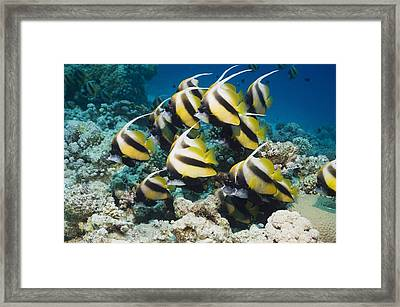 Red Sea Bannerfish Framed Print by Georgette Douwma