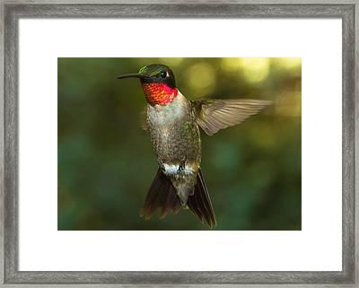 Ruby-throated Hummingbird Framed Print by Robert L Jackson