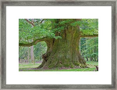 800 Years Old Oak Tree  Framed Print by Heiko Koehrer-Wagner