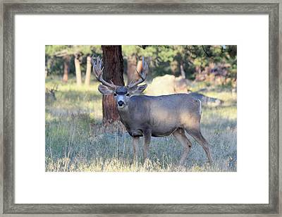 8x8 Mule Deer Framed Print