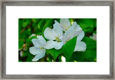 Apple Blossoms Framed Print