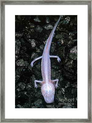Austin Blind Salamander Framed Print by Dante Fenolio