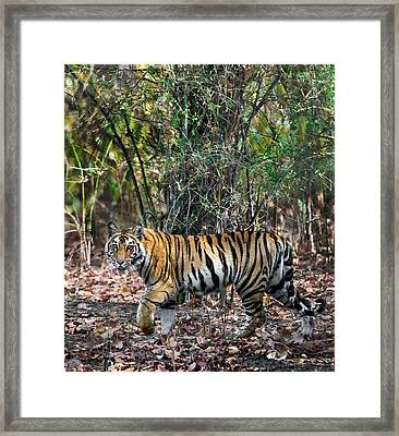 Bengal Tiger Panthera Tigris Tigris Framed Print by Panoramic Images