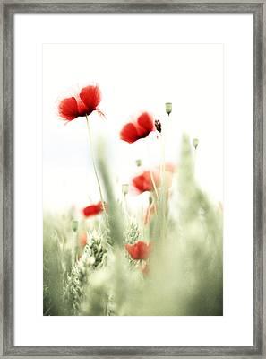 Poppies Framed Print by Falko Follert