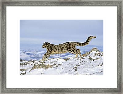 Snow Leopard Framed Print by Jean-Louis Klein & Marie-Luce Hubert