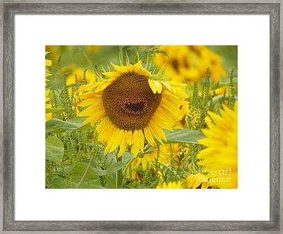 #933 D964 Plants Are People Too Colby Farm Sunflowers Framed Print by Robin Lee Mccarthy Photography