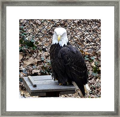 A Bald Eagle Framed Print by Eva Thomas