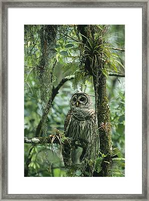 A Barred Owl Perches On A Tree Branch Framed Print