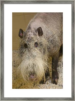 A Bearded Pig From Borneo At  The Henry Framed Print by Joel Sartore