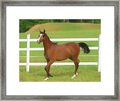 A Beautiful Arabian Filly In The Pasture. Framed Print