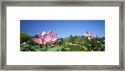 A Beautiful Emperor Lotus Blooms Framed Print by Richard Nowitz