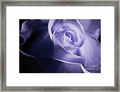 Framed Print featuring the photograph A Beautiful Purple Rose by Micah May