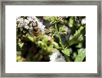 A Bee On A Flower Framed Print by Tom Buchanan
