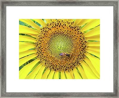 A Bee On A Sunflower Framed Print
