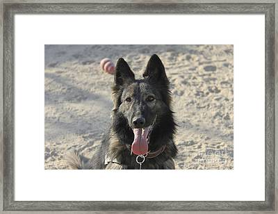 A Belgian Tervuren Military Working Dog Framed Print by Stocktrek Images