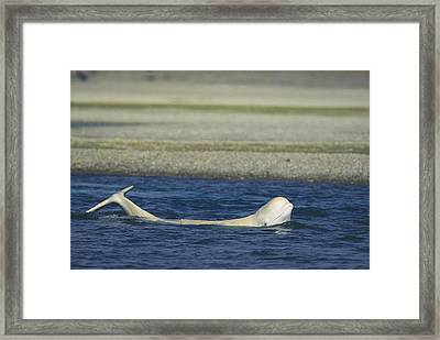 A Beluga Whale Lifts Head And Tail Framed Print by Norbert Rosing