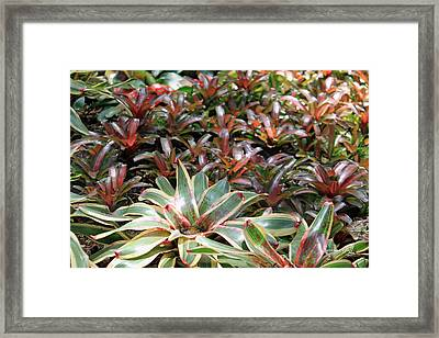 A Bevy Of Bromeliads Framed Print by Suzanne Gaff