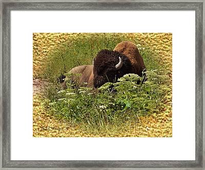 A Bison At Rest Framed Print by Kae Cheatham