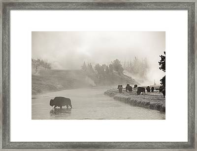 A Bison Crosses The Fire Hole River Framed Print