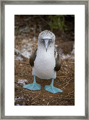 A Blue Footed Booby Looks At The Camera Framed Print by Stephen St John