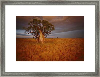 A Boab Tree Stands Solitary In The Bush Framed Print