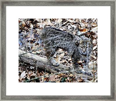 A Bob Cat Framed Print by Eva Thomas