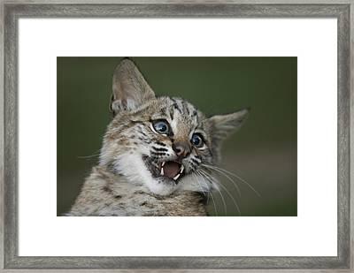 A Bobcat At A Wildlife Rescue Members Framed Print by Joel Sartore