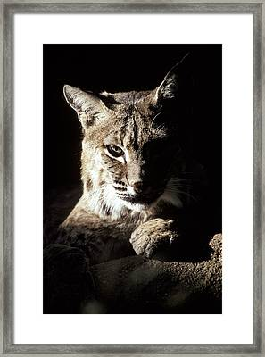 A Bobcat Sitting In A Ray Of Sun Framed Print