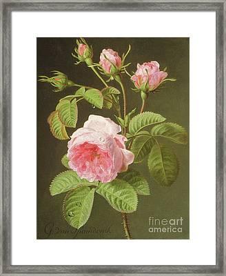 A Branch Of Roses Framed Print