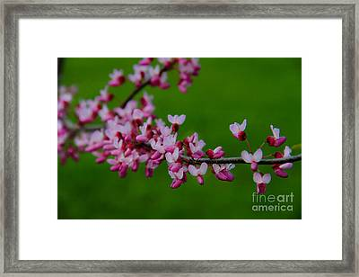 A Branch Of Spring Framed Print