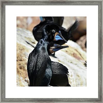 A Brandt's Cormorant Courtship Framed Print