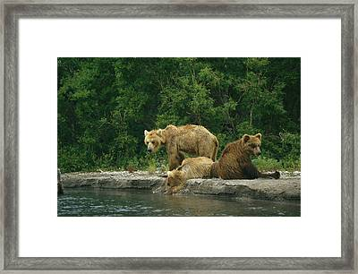 A Brown Bear Mother And Two Cubs Framed Print by Klaus Nigge