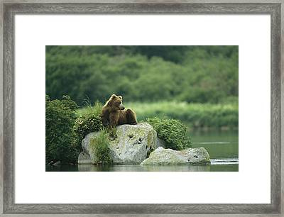 A Brown Bear Resting On A Rock Framed Print by Klaus Nigge
