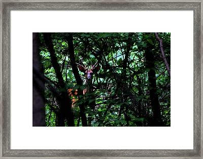A Buck Peers From The Woods Framed Print