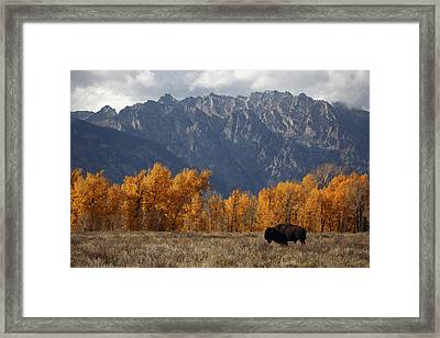 A Buffalo Grazing In Grand Teton Framed Print by Aaron Huey