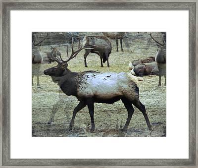 A Bull Elk  Framed Print