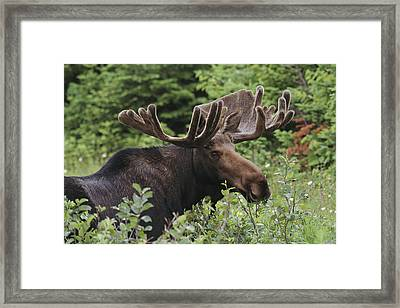 A Bull Moose Among Tall Bushes Framed Print by Michael Melford