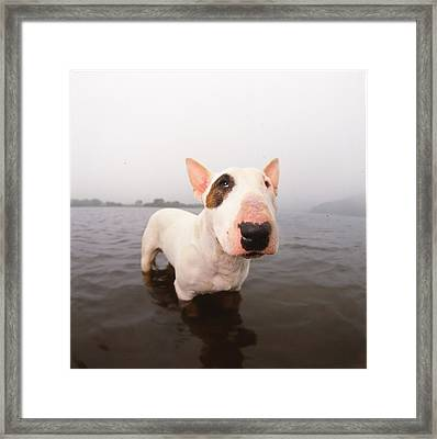 A Bull Terrier In Water Framed Print by Cica Oyama