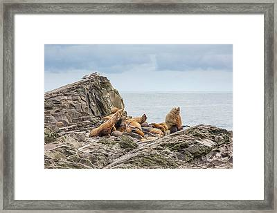 A Bull With His Harem Framed Print by Tim Grams