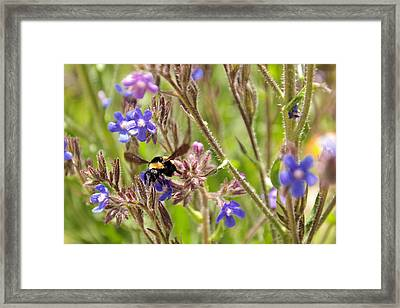 A Bumble In The Flowers   Framed Print