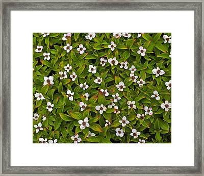 A Bunch Of Bunchberries Framed Print by Tony Beck