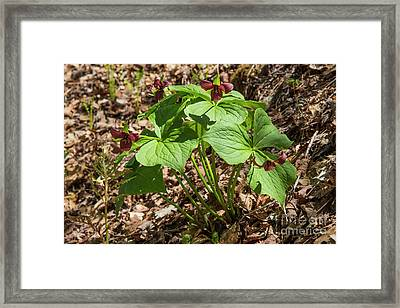 A Bunch Of Trillium's  Framed Print