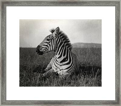 A Burchells Zebra At Rest Framed Print by Carl E. Akeley