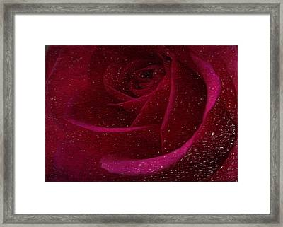 A Burgundy Rose In Snow Framed Print by Sarah Vernon
