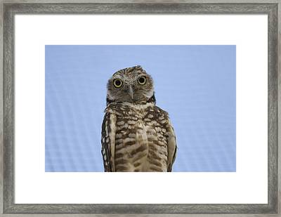 A Burrowing Owl Athene Cunicularia Framed Print by Joel Sartore